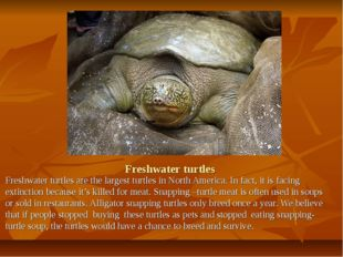 Freshwater turtles Freshwater turtles are the largest turtles in North Americ