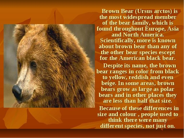 Brown Bear (Ursus arctos) is the most widespread member of the bear family,...