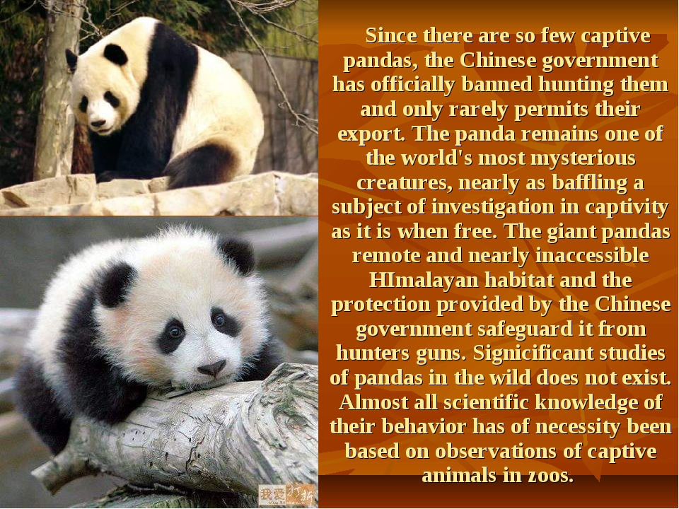 Since there are so few captive pandas, the Chinese government has officially...