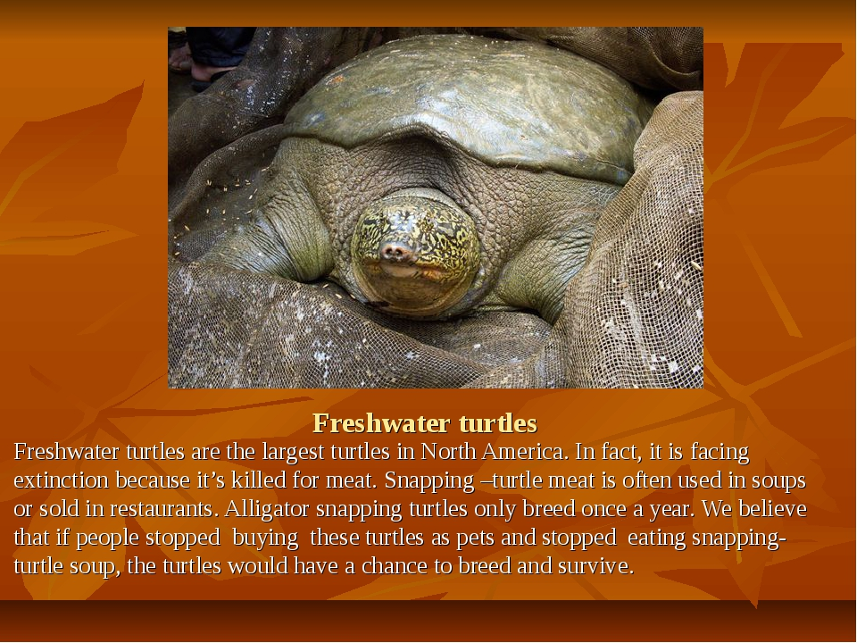 Freshwater turtles Freshwater turtles are the largest turtles in North Americ...