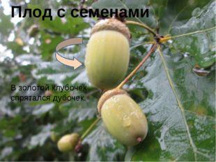 Плод с семенами В золотой клубочек спрятался дубочек.