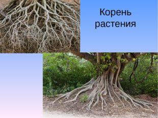 Корень растения