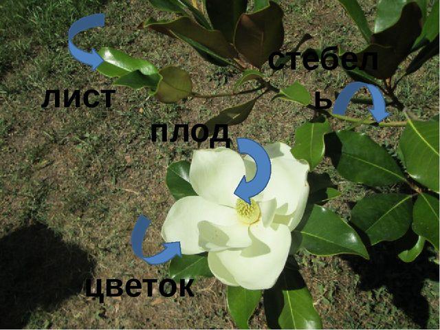 лист стебель цветок плод