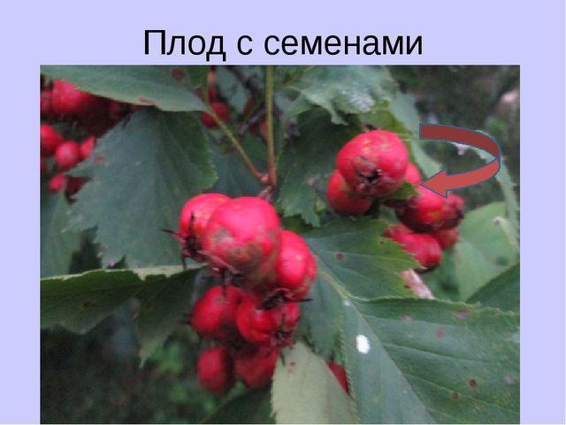 Плод с семенами