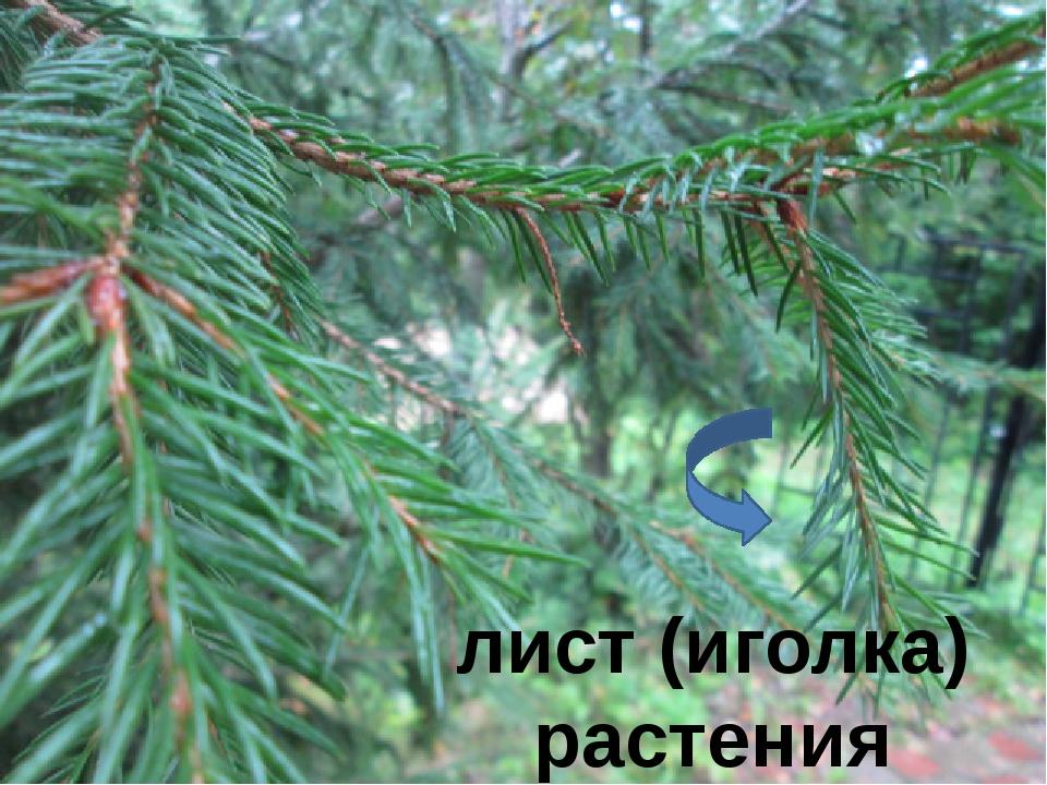 лист (иголка) растения