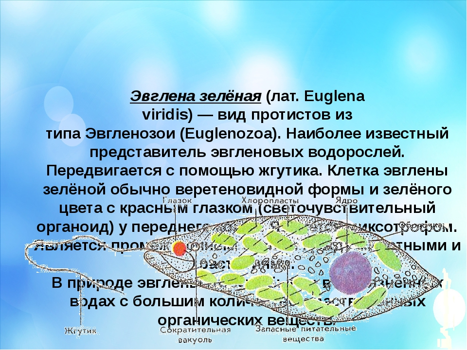 Эвглена зелёная(лат.Euglena viridis)—видпротистовиз типаЭвгленозои(Eu...