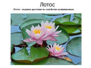 Лотос - водяное растение из семейства кувшинковых. Лотос