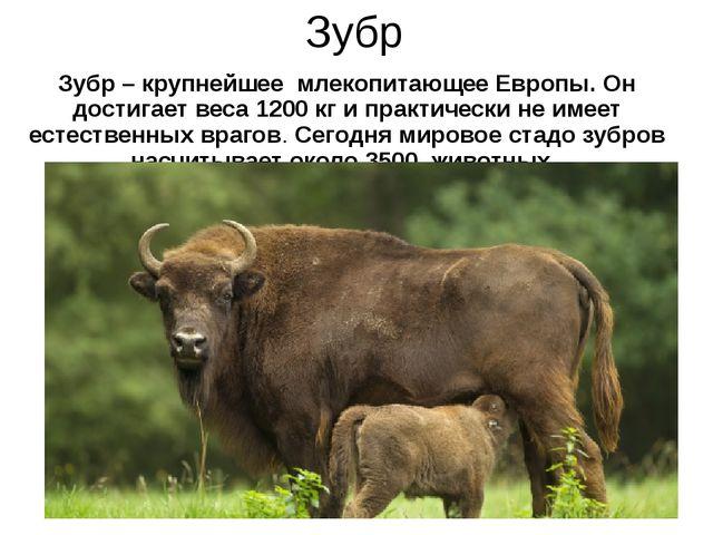 Зубр Зубр – крупнейшее млекопитающее Европы. Он достигает веса 1200 кг и прак...