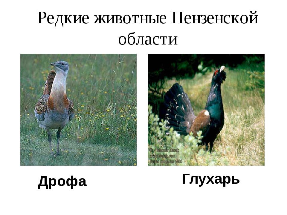 Редкие животные Пензенской области Дрофа Глухарь