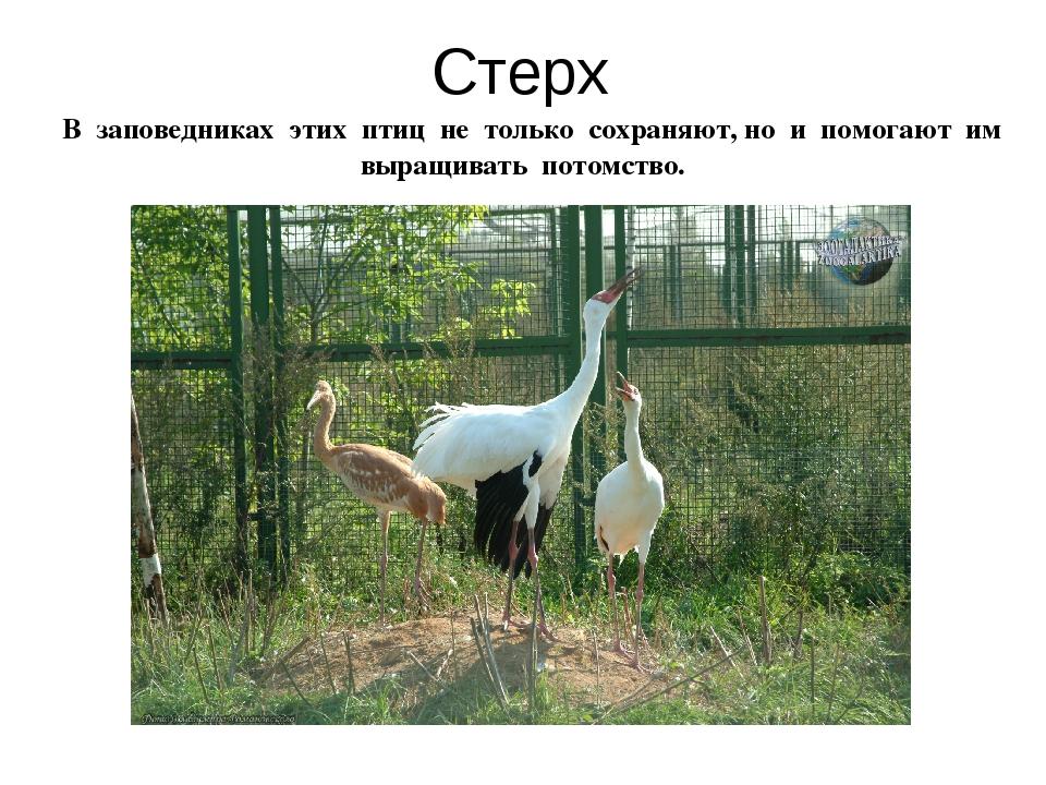 Стерх В заповедниках этих птиц не только сохраняют, но и помогают им выращива...