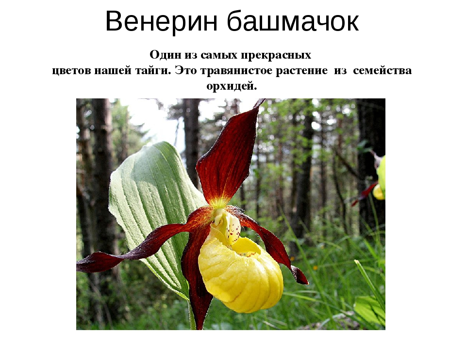 Венерин башмачок Один из самых прекрасных цветов нашей тайги. Это травянистое...