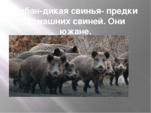 Кабан-дикая свинья- предки домашних свиней. Они южане.