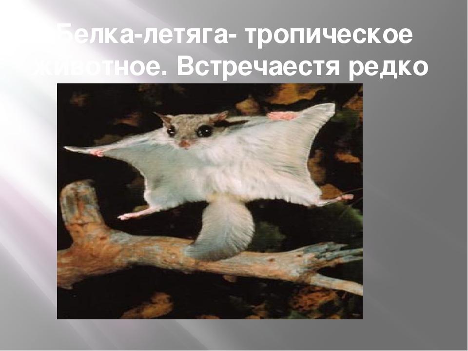 Белка-летяга- тропическое животное. Встречаестя редко