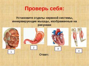 Проверь себя: Установите отделы нервной системы, иннервирующие мышцы, изображ