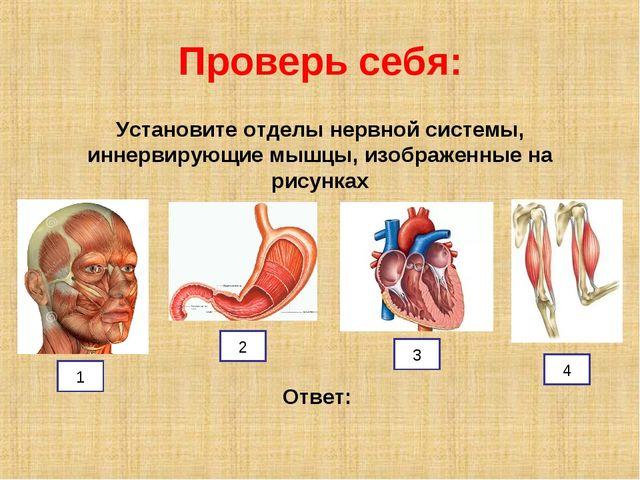 Проверь себя: Установите отделы нервной системы, иннервирующие мышцы, изображ...