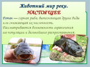 Животный мир реки. НАСТОЯЩЕЕ Ротан— сорная рыба, вытесняющая другие виды или