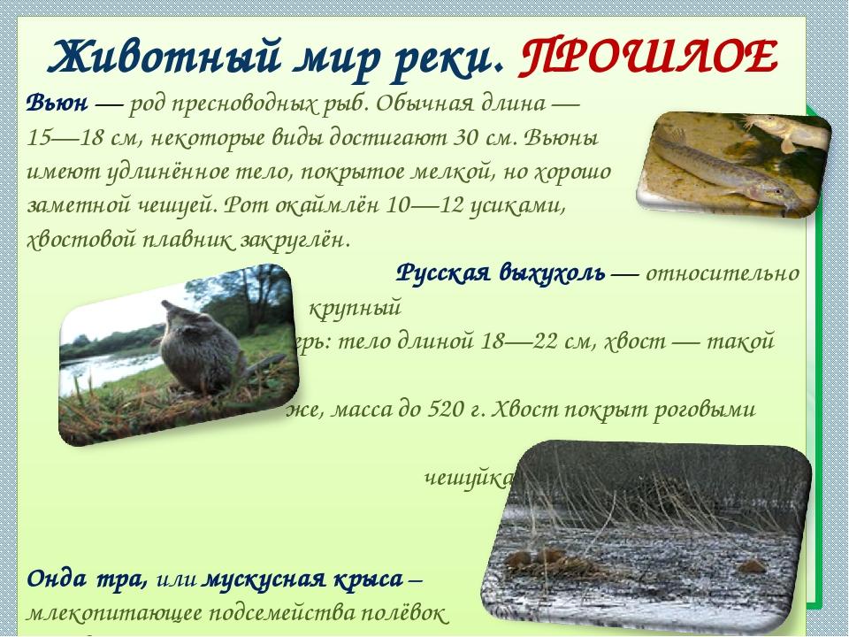 Животный мир реки. ПРОШЛОЕ Вьюн— род пресноводных рыб. Обычная длина— 15—18...