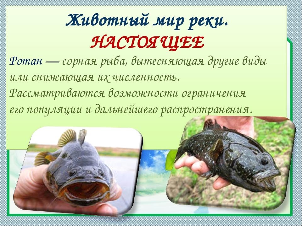 Животный мир реки. НАСТОЯЩЕЕ Ротан— сорная рыба, вытесняющая другие виды или...