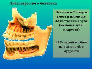 Зубы взрослого человека Человек к 20 годам имеет в норме все 32 постоянных зу