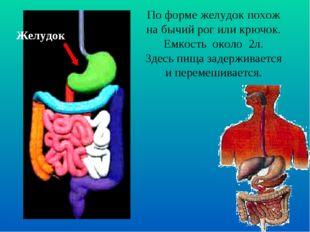 Желудок По форме желудок похож на бычий рог или крючок. Емкость около 2л. Зде