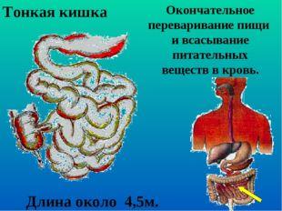 Окончательное переваривание пищи и всасывание питательных веществ в кровь. То