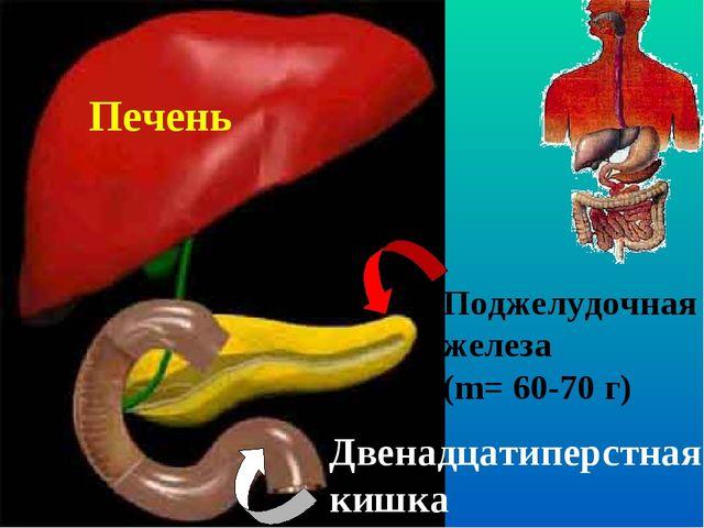Печень Поджелудочная железа (m= 60-70 г) Двенадцатиперстная кишка