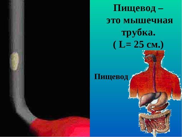 Пищевод Пищевод – это мышечная трубка. ( L= 25 см.)