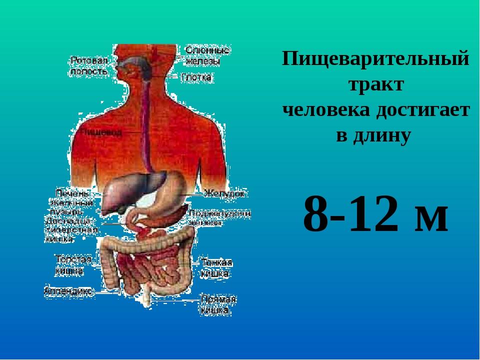 Пищеварительный тракт человека достигает в длину 8-12 м