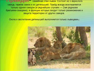 Прайды- семейная стая львов. Состоит из 1 взрослого самца, гарема самок и их