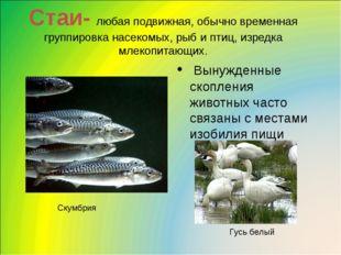Стаи- любая подвижная, обычно временная группировка насекомых, рыб и птиц, из