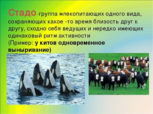 Стадо -группа млекопитающих одного вида, сохраняющих какое -то время близость...