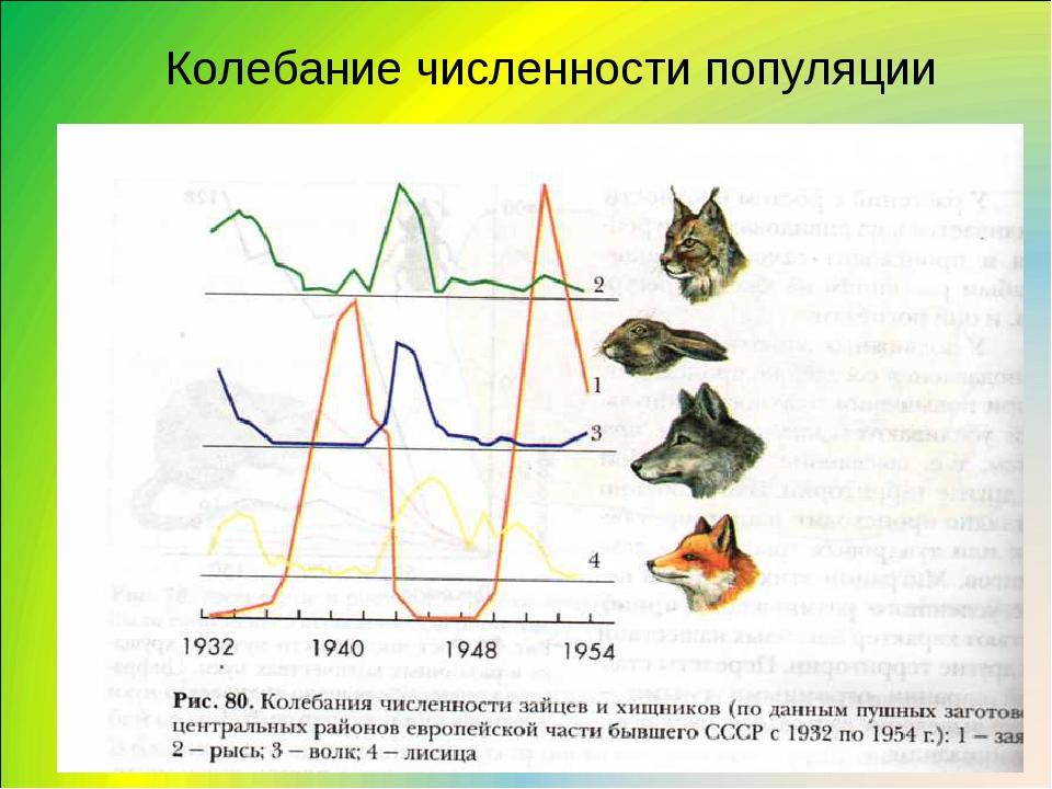Колебания численности популяции связаны с изменением