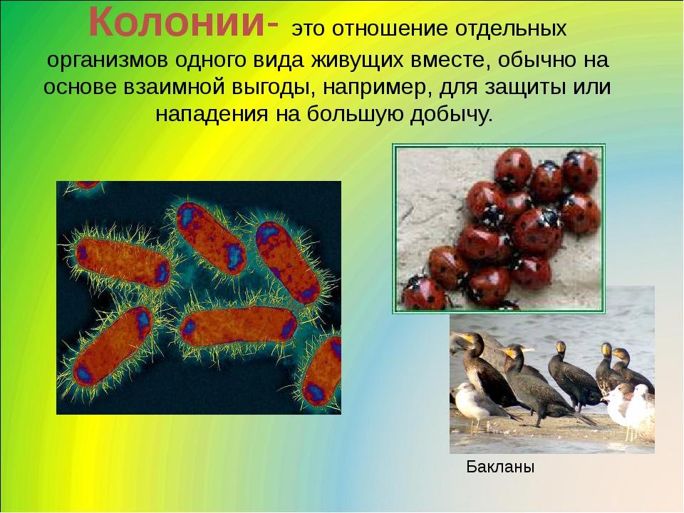 Колонии- это отношение отдельных организмов одного вида живущих вместе, обычн...