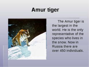 Amur tiger The Amur tiger is the largest in the world. He is the only repre