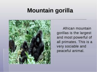 Mountain gorilla  African mountain gorillas is the largest and most powe