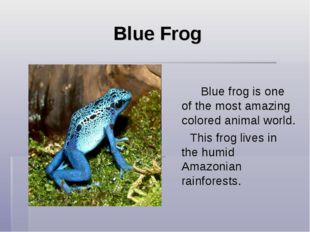Blue Frog Blue frog is one of the most amazing colored animal world. This f