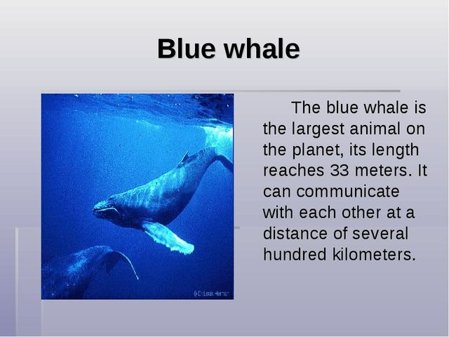 Blue whale The blue whale is the largest animal on the planet, its length r...