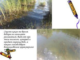 Спустя какое-то время водоросли начинают разлагаться, выделяя при этом пигме