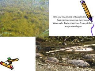 Помимо пигмента из водорослей также выделяются опасные токсичные вещества. Ры