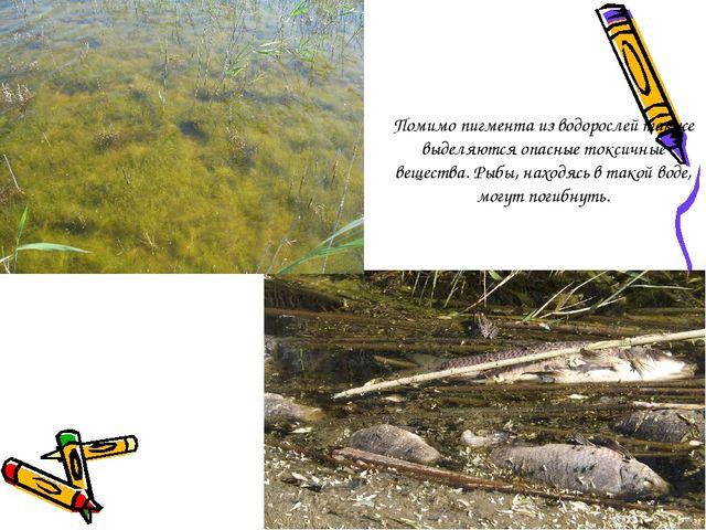 Помимо пигмента из водорослей также выделяются опасные токсичные вещества. Ры...