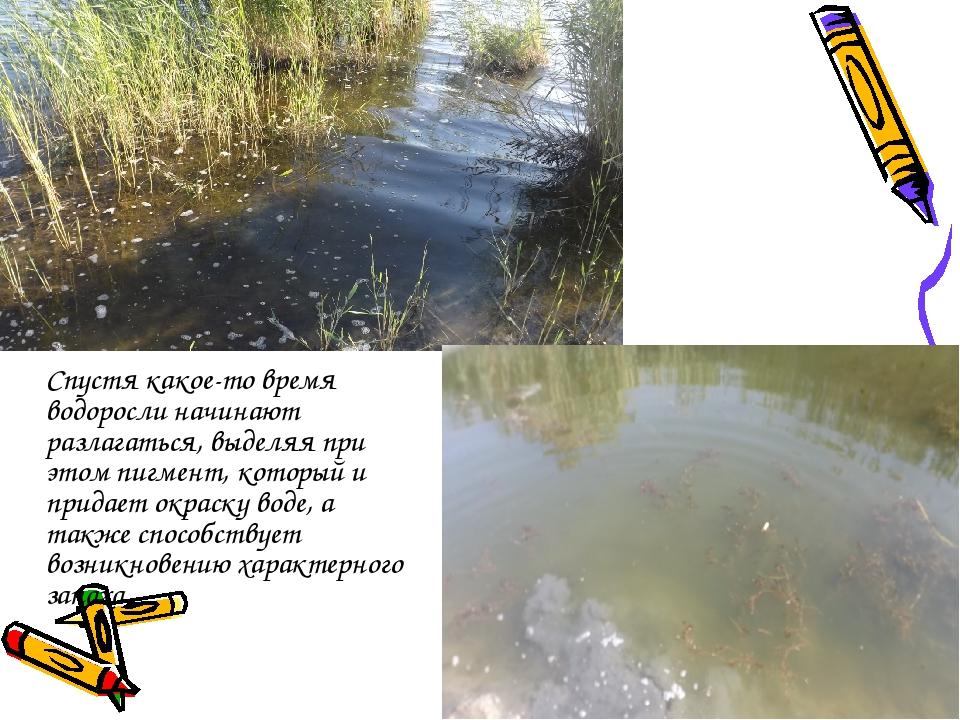 Спустя какое-то время водоросли начинают разлагаться, выделяя при этом пигме...