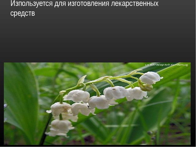 Ландыш травянистое цветковое растение. Изпользуется для изготовления лекарств...