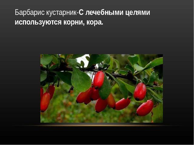Барбарис кустарник-С лечебными целями используются корни, кора.