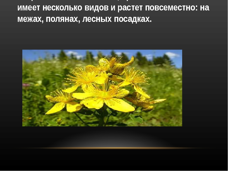 Зверобой обыкновенный, пронзенный имеет несколько видов и растет повсеместно:...