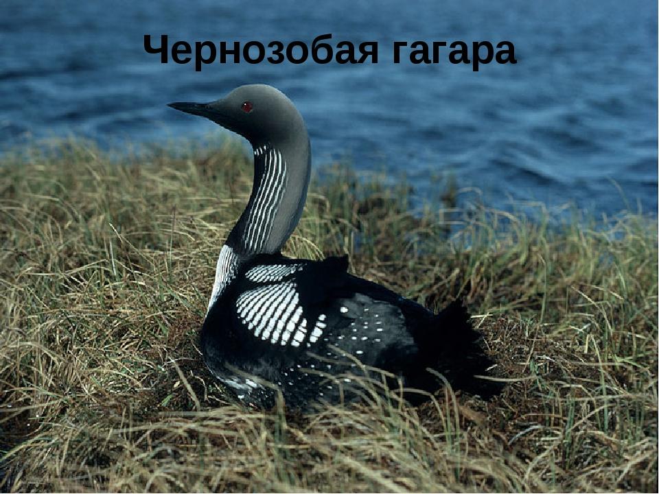 Чернозобая гагара