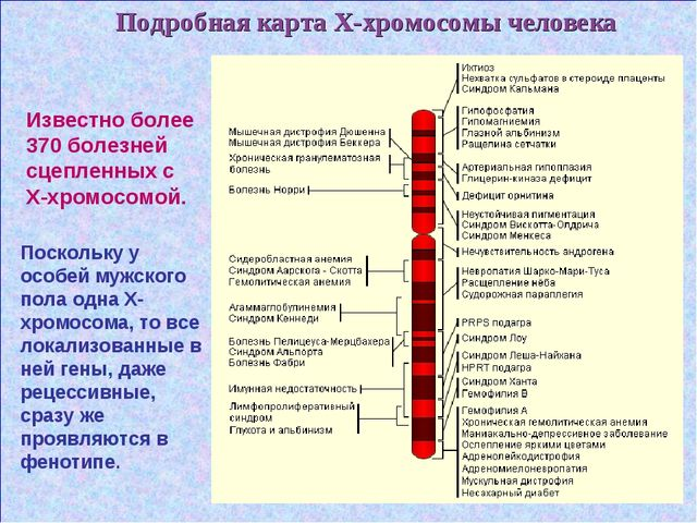 Подробная карта Х-хромосомы человека Известно более 370 болезней сцепленных с...