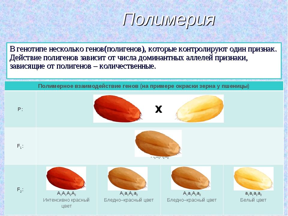 Полимерия В генотипе несколько генов(полигенов), которые контролируют один пр...