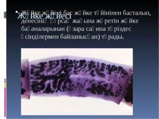 Жүйке жүйесі Жүйке жүйесі бас жүйке түйінінен басталып, денесінің құрсақ жағы