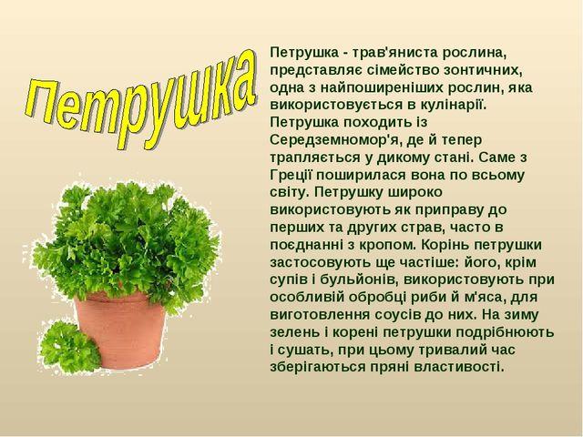 Петрушка - трав'яниста рослина, представляє сімейство зонтичних, одна з найпо...