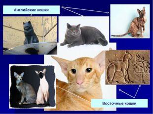 Английские кошки Восточные кошки